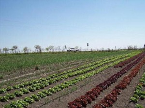Acadian Family Farm lettuce fields